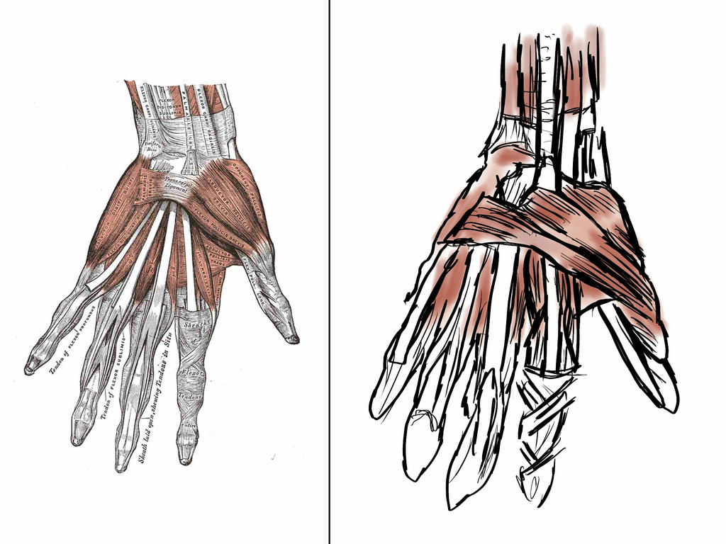 Anatomy The Hand Muscles By Dynoking On Deviantart