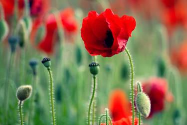 Poppy by auroradenight