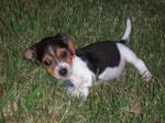 Puppy Days by boomerangbeagle