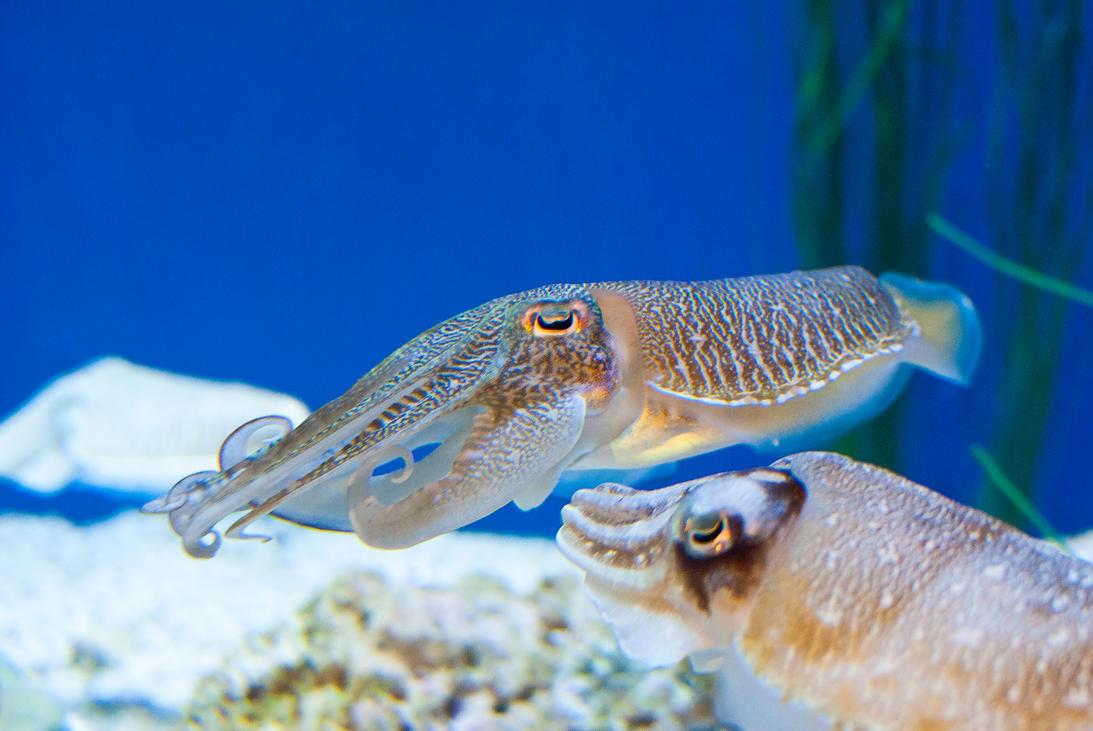 Cuddle fish monterey aquarium by brandonlee88 on deviantart for 94 1 the fish