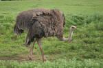 Ostrich Body 001