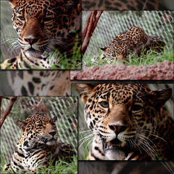Leopard Face Stock Reference by crumpstock