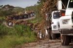 Belize -Sugar Cane-