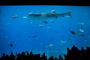 Whale Shark Georgia Aquarium by LadyCarolineArtist