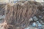 Roots 2 by LadyCarolineArtist