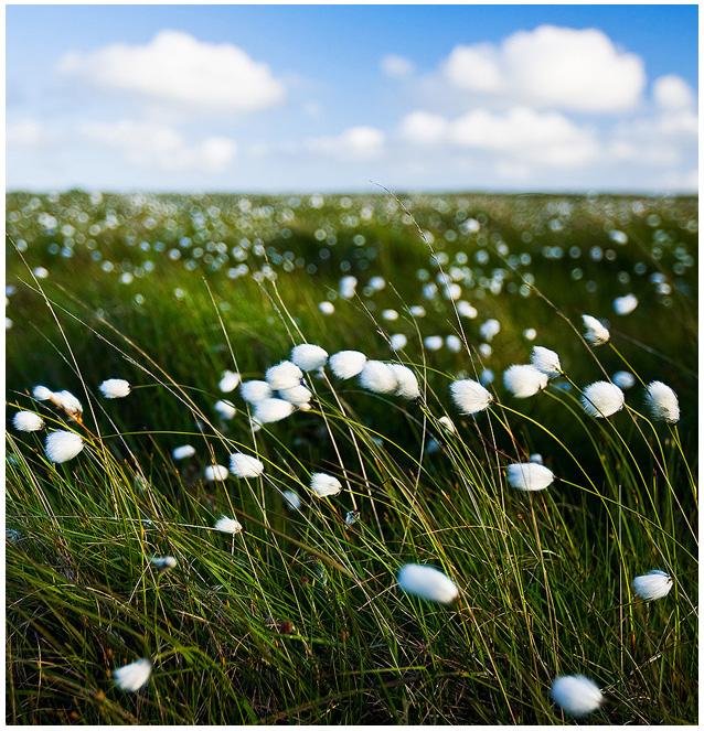 cotton by sassaputzin