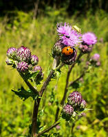 Ladybird on a thistle by TheBigDaveC