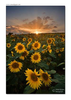 Sunflower sunset by tomaskaspar