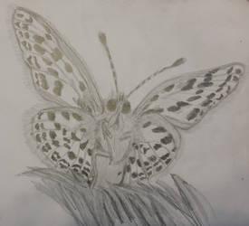 Butterfly Sketch 1