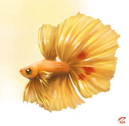 Cider Betta by Majoh