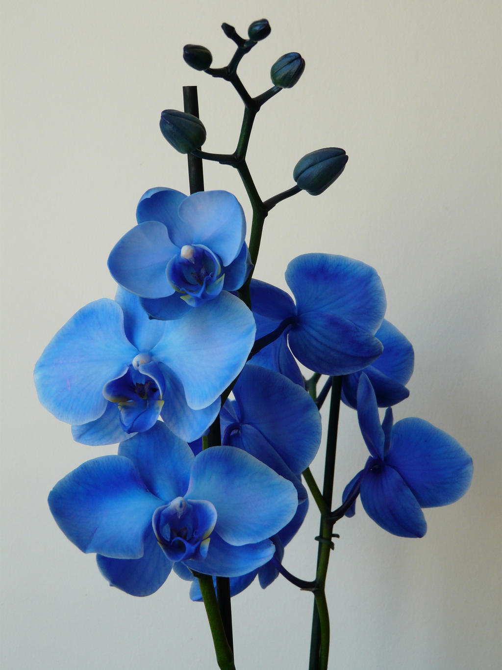 Blue Orchid Flower Drawing