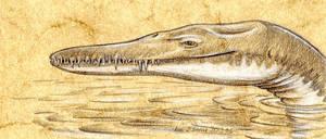 Thililua-longicollis-A
