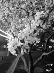 Blk N White Bloom Up Close by EsBest