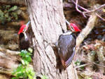 Woodpeckers By The Stream