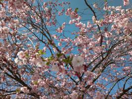 Cherry Blossom by snofs