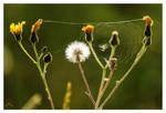 CLIVE AYRON ~ Dandelion Spider