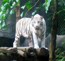 White tiger by HighRiseLights
