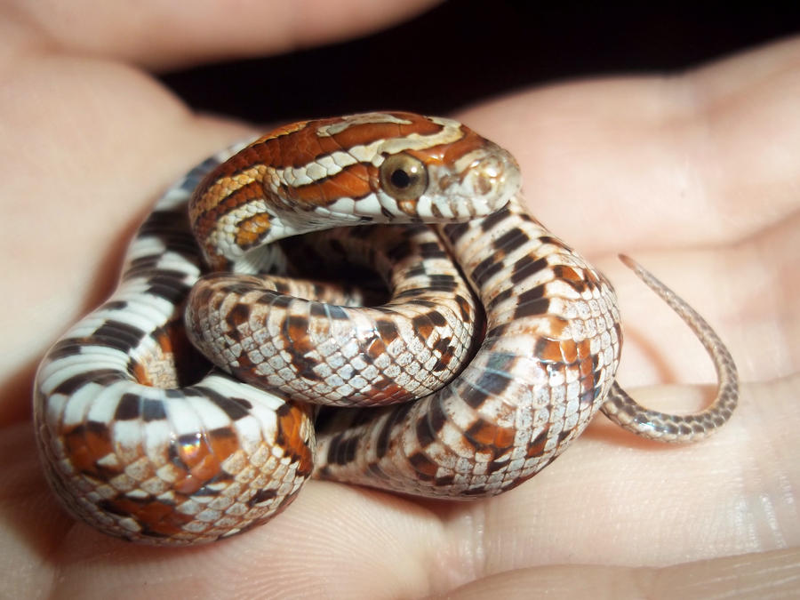 Corn snake hatchlings: Darjeeling by Jovamabob