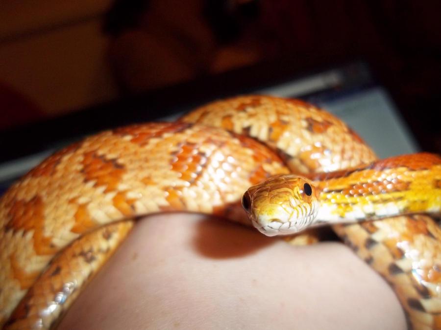 Sebastian Corn-Snake by Jovamabob