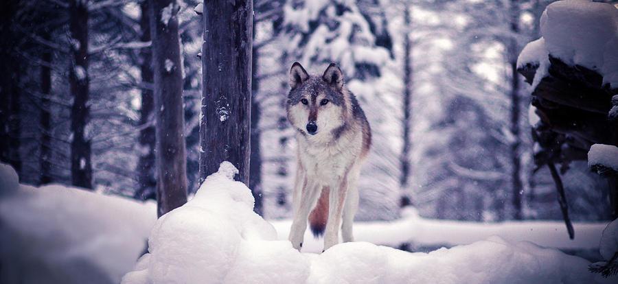 Wolf.. by Khomenko