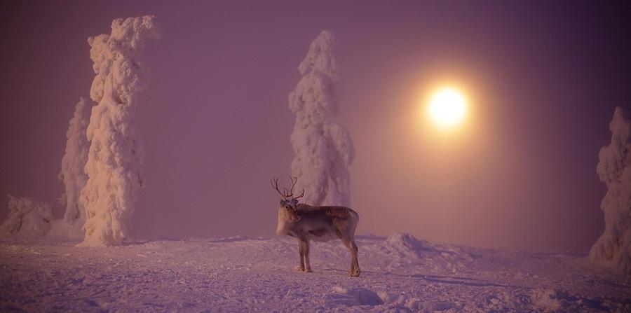 Reindeer.. by Khomenko