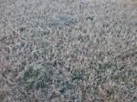 Morning Frosty Grass