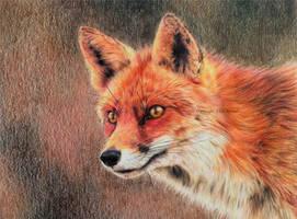 Curious fox by BeckyKidus