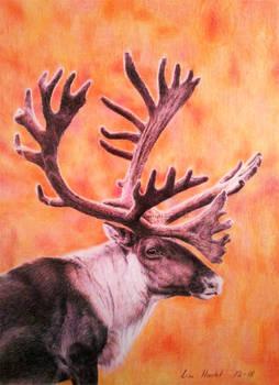 Reindeer / Caribou - Leader of the Herd