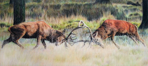 Red deer - Battle by BeckyKidus