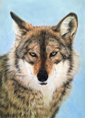 Wolf Portrait IX - Ice Blue Eyes by BeckyKidus