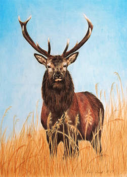 Red Deer Stag - Tall, Dark and Handsome