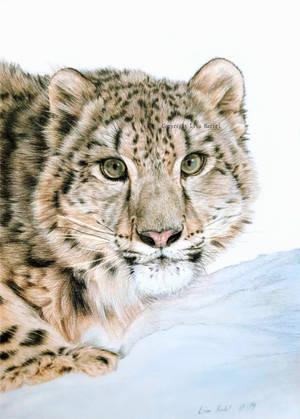 Juvenile Snow Leopard by BeckyKidus