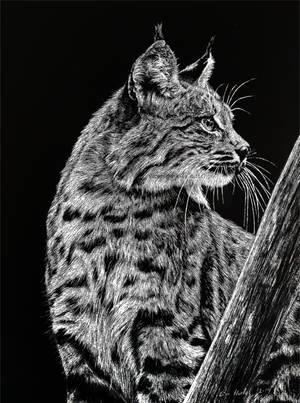 Bobcat by BeckyKidus