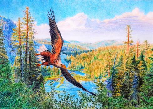 White-tailed Sea Eagle - Old Time Glory