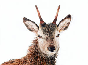 Red Deer - Prince by BeckyKidus