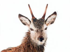 Red Deer - Prince