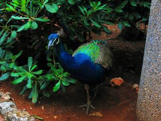 Peacock by FiorellaDePietro