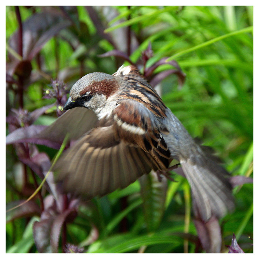 Sparrow Hovers by evaPM