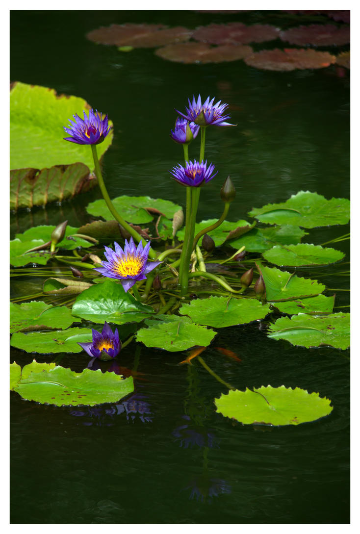 Water Lily 3 by evaPM