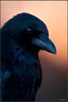 Corvus Corone by schwarzerschnee