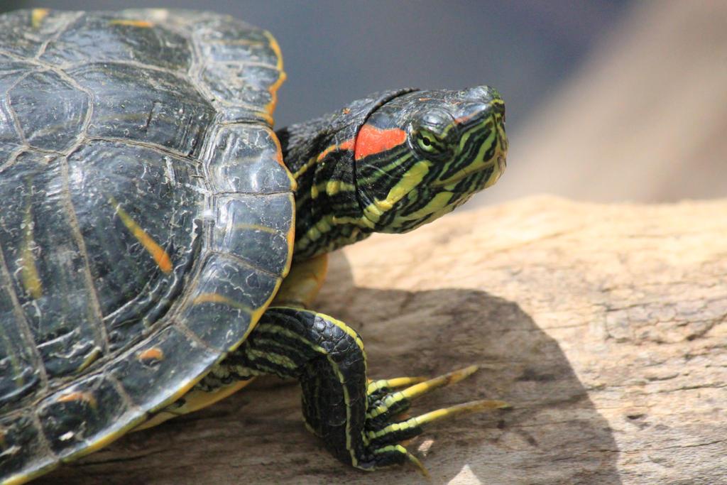 IMAGE: http://fc04.deviantart.net/fs71/i/2012/112/7/b/turtle_by_musicalpaintings-d4x933g.jpg