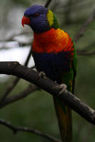 Rainbow Lorikeet I by FreeakStock