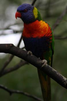 Rainbow Lorikeet I