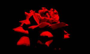Phantom of the Opera's Rose