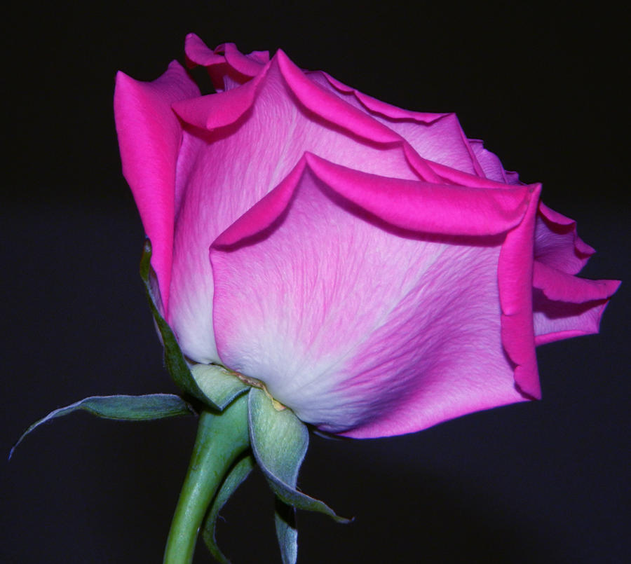 Beast's Rose by Hunter-Arkaman