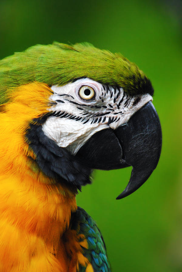 Blue-and-Gold Macaw by SarahVlad