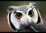 White-Faced Owl II