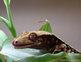 Crested Gecko in a Nepenthes