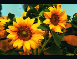 sunflower by amateursoul