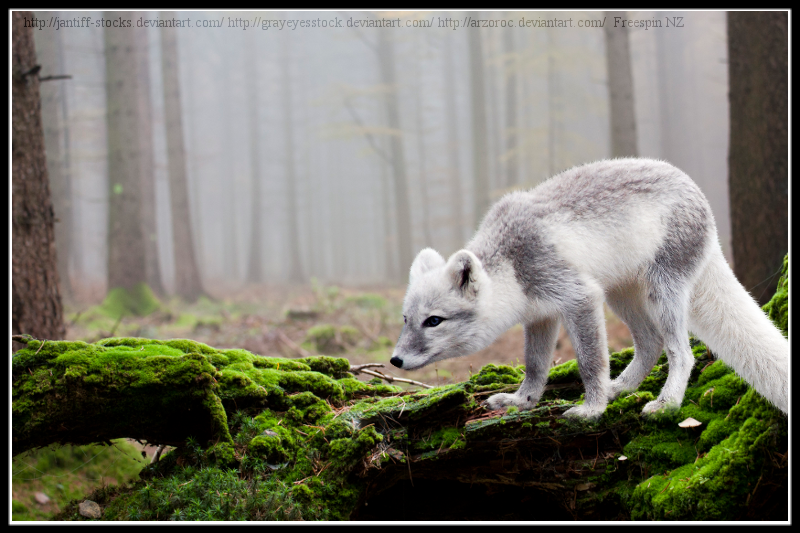 Arctic Fox by Sea-To-Sky